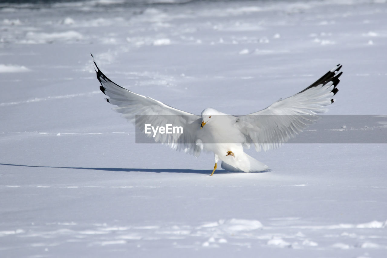 Full Length Of Seagull On Snow Covered Field