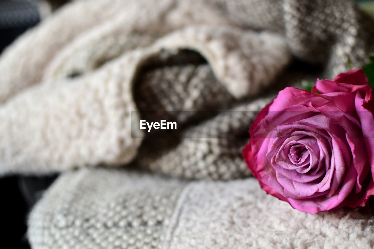 rose - flower, flower, no people, nature, close-up, petal, fragility, flower head, beauty in nature, indoors, freshness, day