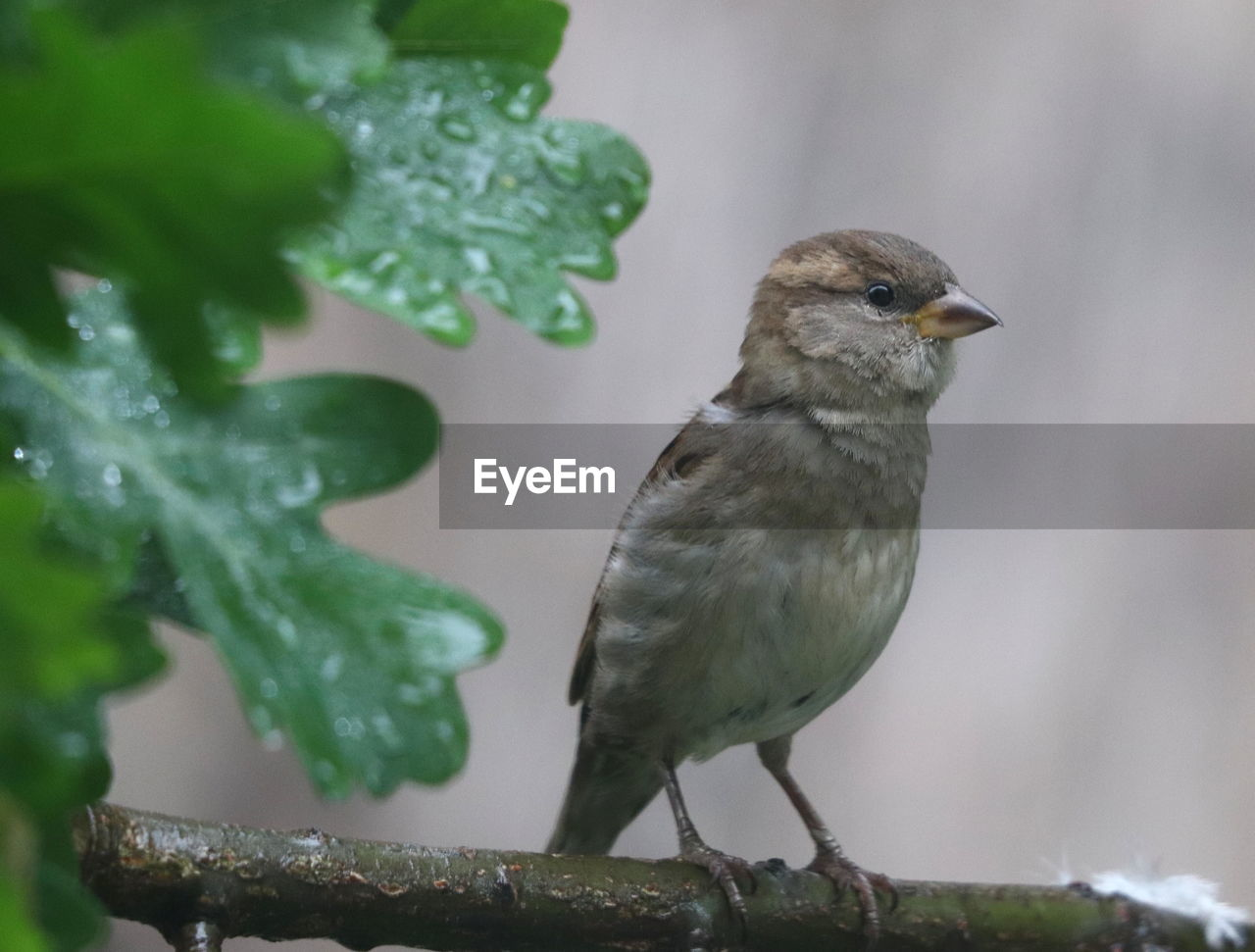 bird, vertebrate, animal, animal themes, animal wildlife, one animal, animals in the wild, perching, focus on foreground, close-up, no people, green color, day, nature, sparrow, branch, plant, outdoors, beauty in nature, leaf