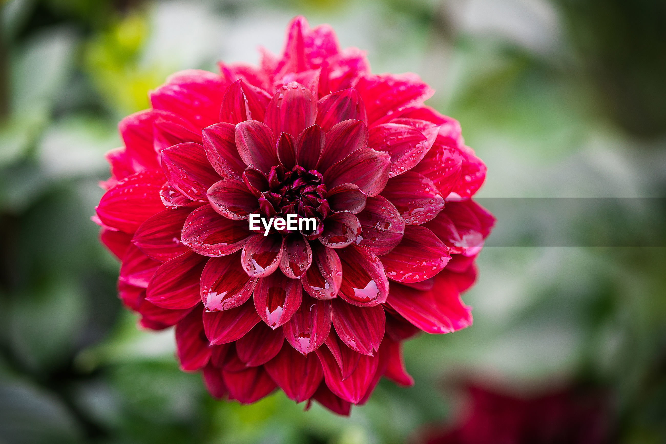Close-up of red dahlia