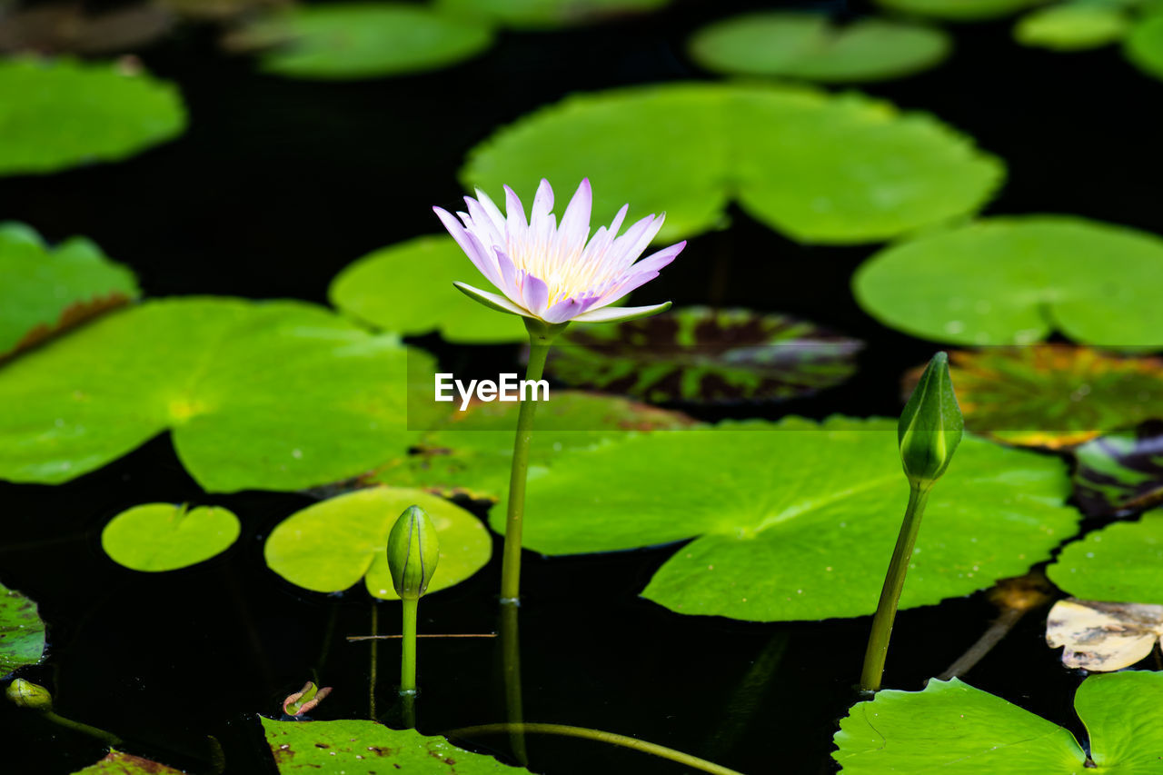 leaf, water lily, flower, plant part, plant, beauty in nature, water, vulnerability, flowering plant, fragility, freshness, lake, growth, floating on water, floating, close-up, nature, inflorescence, flower head, no people, lotus water lily, purple, outdoors