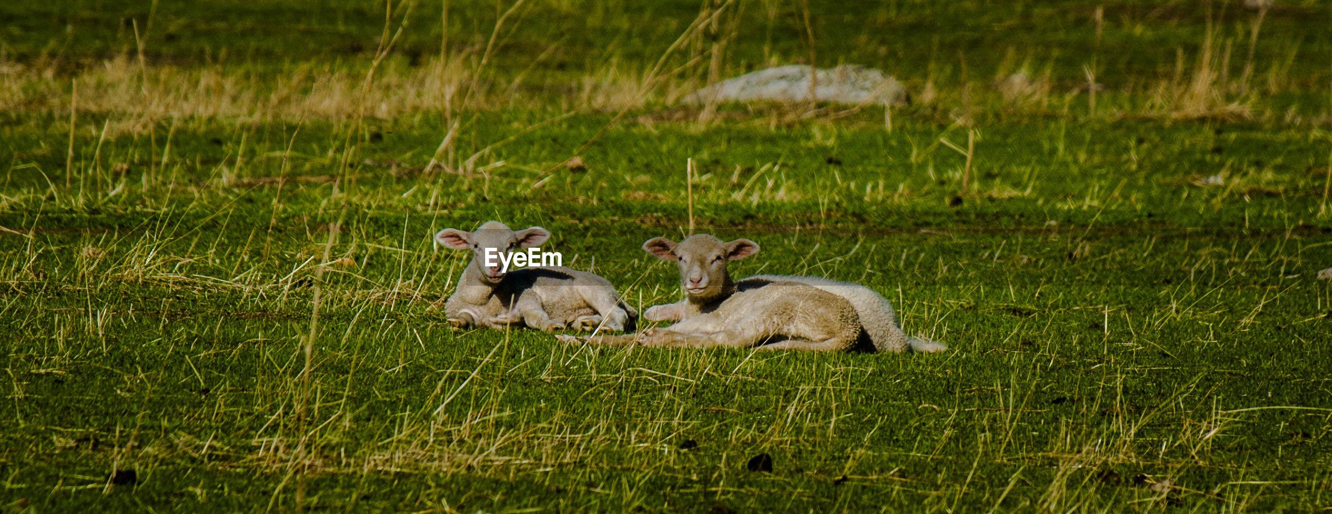 Lamb resting on grassy field