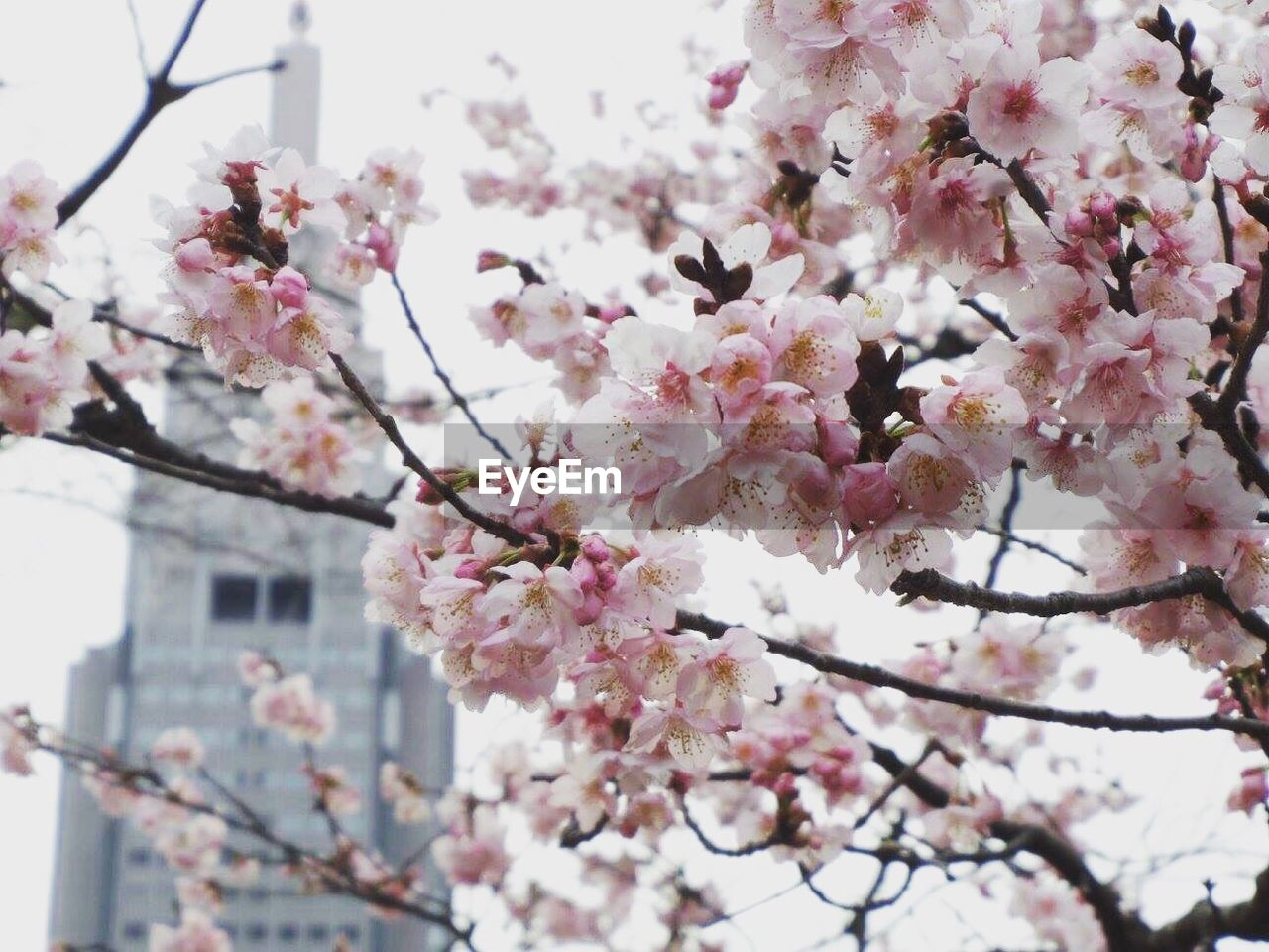 flower, cherry blossom, blossom, fragility, springtime, cherry tree, pink color, tree, growth, beauty in nature, branch, freshness, apple blossom, nature, botany, day, apple tree, no people, twig, low angle view, orchard, outdoors, petal, plum blossom, close-up, focus on foreground, blooming, flower head, building exterior, architecture, sky