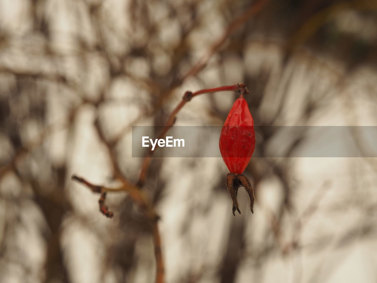 red, nature, insect, no people, tree, day, outdoors, close-up, rose hip, branch, beauty in nature, animals in the wild, animal themes, fragility, freshness