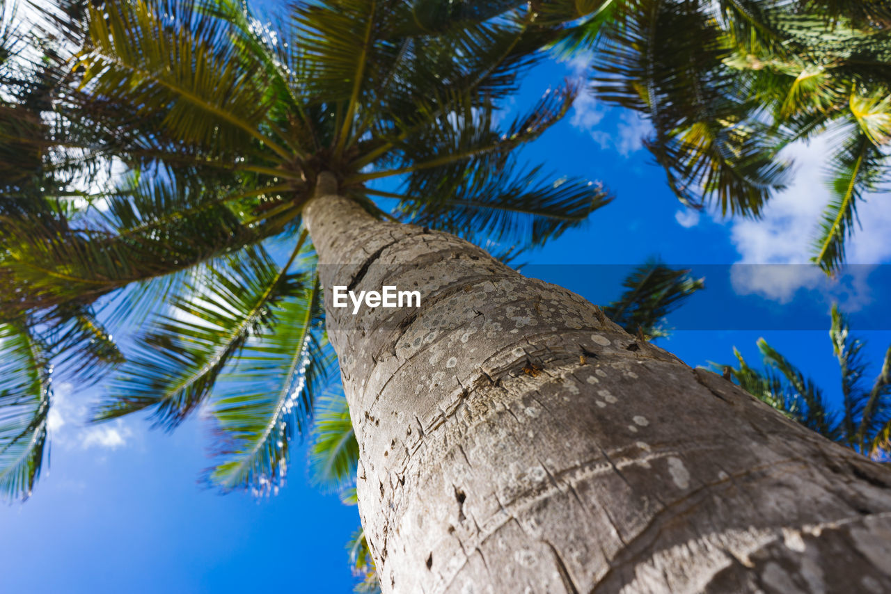tree, plant, tree trunk, trunk, palm tree, low angle view, tropical climate, growth, nature, sky, no people, day, leaf, beauty in nature, tranquility, blue, branch, tall - high, outdoors, palm leaf, coconut palm tree, bark, directly below, tropical tree, tree canopy