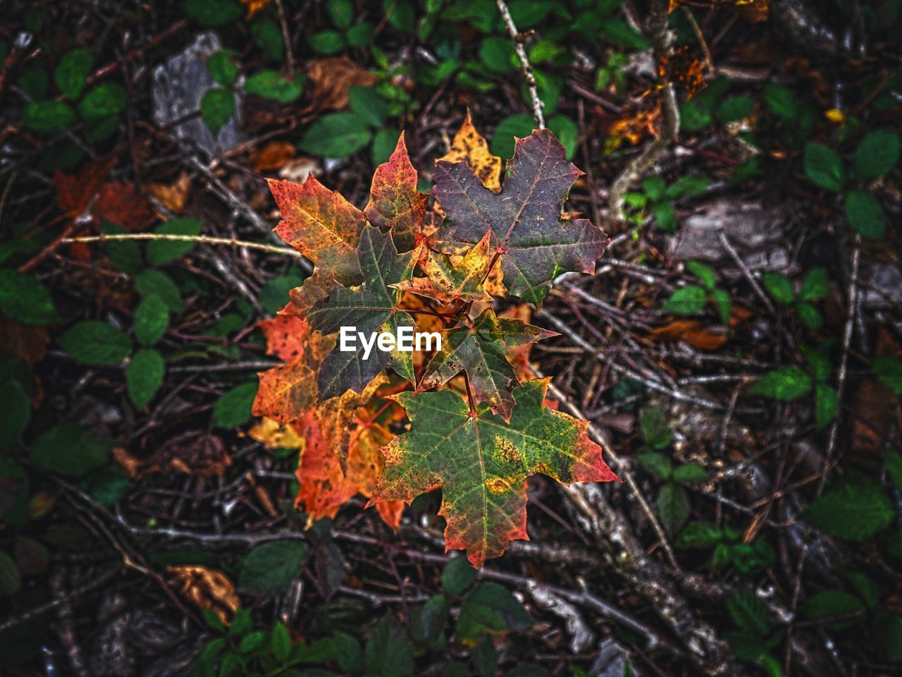 leaf, plant part, plant, nature, growth, beauty in nature, day, close-up, autumn, change, land, no people, tree, selective focus, focus on foreground, field, high angle view, outdoors, forest, orange color, leaves, maple leaf, natural condition