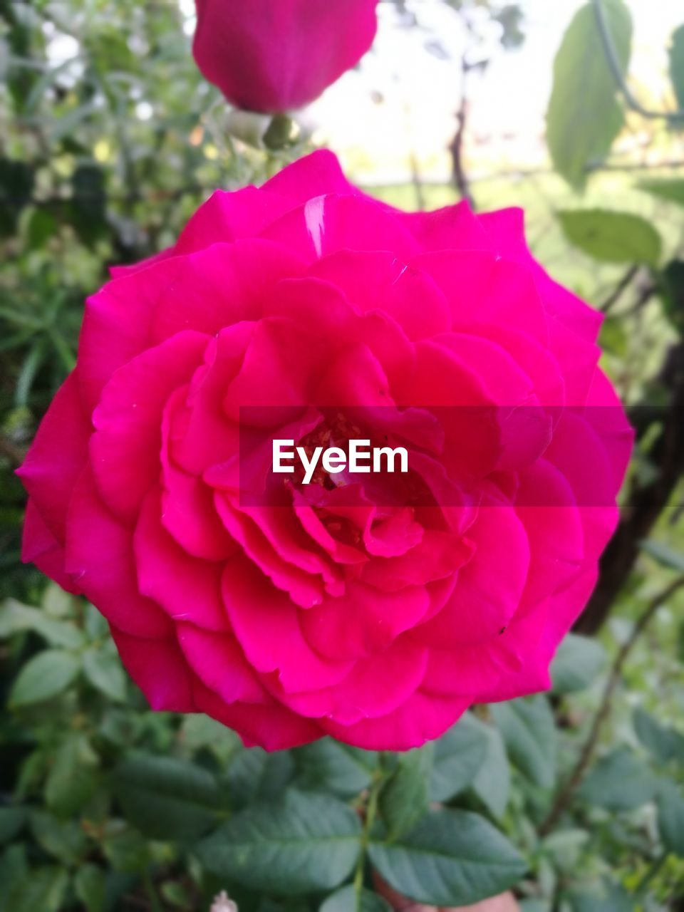 flower, petal, nature, fragility, beauty in nature, flower head, growth, pink color, no people, rose - flower, freshness, close-up, outdoors, day, plant, wild rose, blooming, focus on foreground