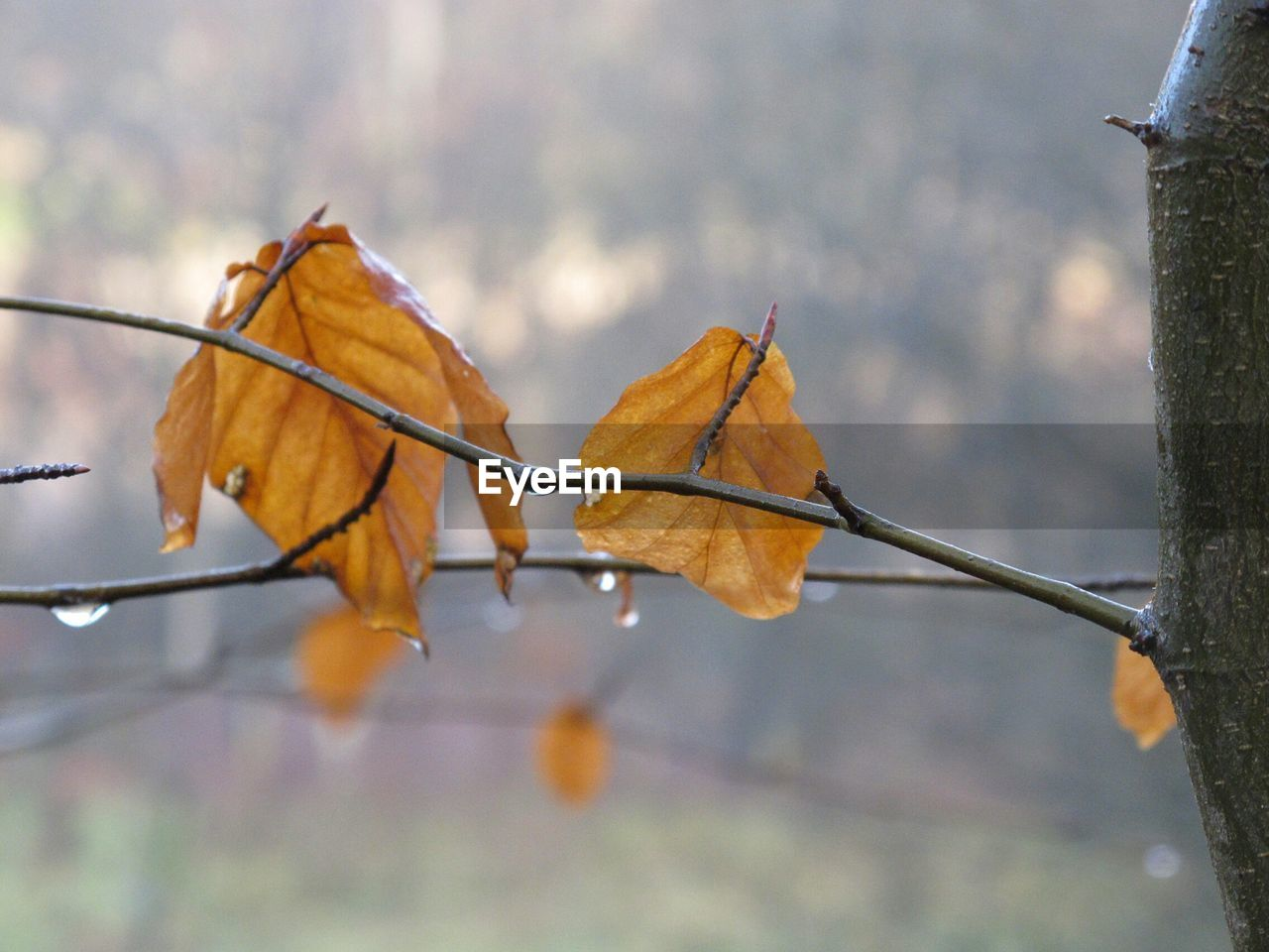 leaf, autumn, change, dry, nature, day, focus on foreground, outdoors, no people, close-up, maple, maple leaf, beauty in nature, tree, fragility