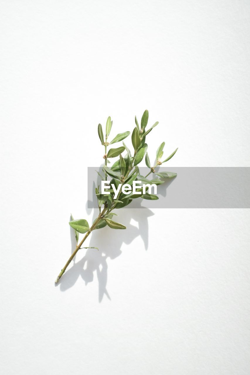white background, studio shot, leaf, plant part, plant, green color, nature, copy space, close-up, indoors, no people, white color, growth, beauty in nature, cut out, freshness, fragility, shadow, vulnerability