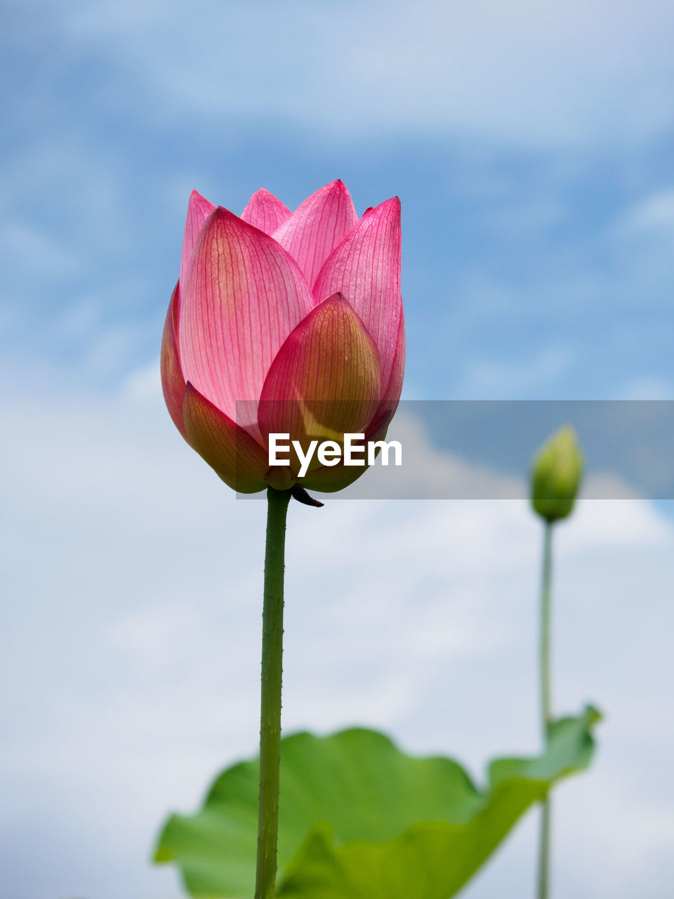 Close-Up Of Pink Lotus Water Lily Blooming Against Sky
