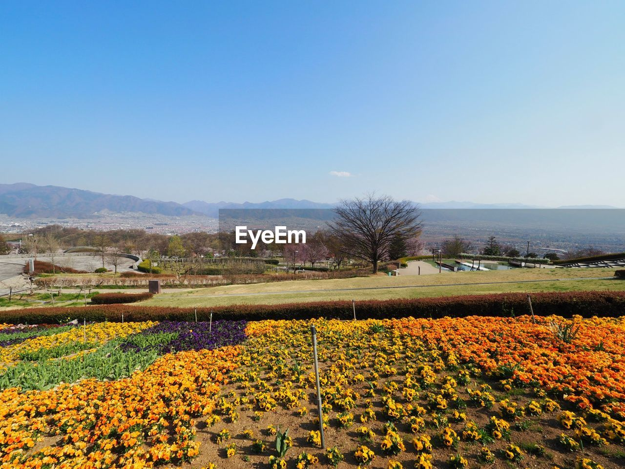 flower, beauty in nature, nature, growth, tranquil scene, landscape, field, tranquility, scenics, day, agriculture, clear sky, outdoors, mountain, plant, no people, freshness, yellow, flowerbed, tree, rural scene, fragility, water, sky, flower head