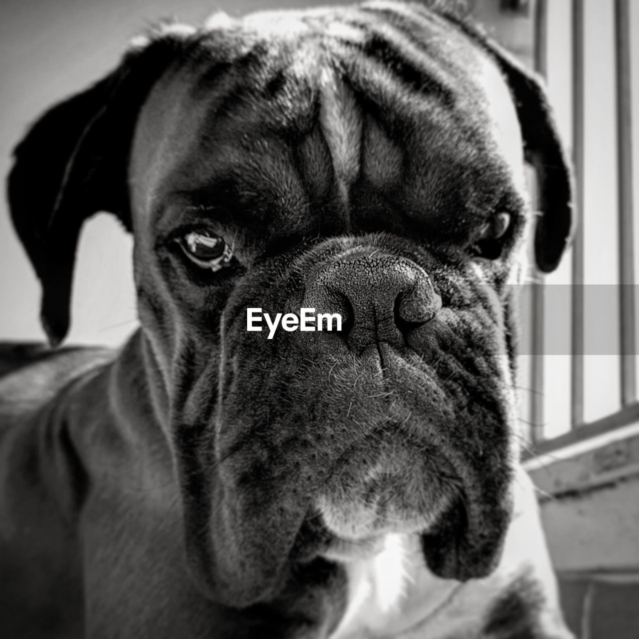 one animal, mammal, pets, domestic, domestic animals, canine, dog, vertebrate, close-up, portrait, focus on foreground, animal body part, pug, looking at camera, no people, indoors, animal nose, snout