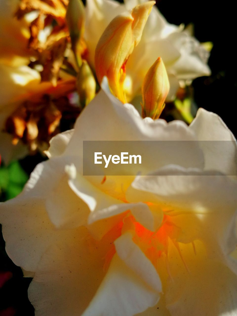 petal, flower, nature, beauty in nature, close-up, freshness, no people, growth, flower head, fragility, outdoors, day