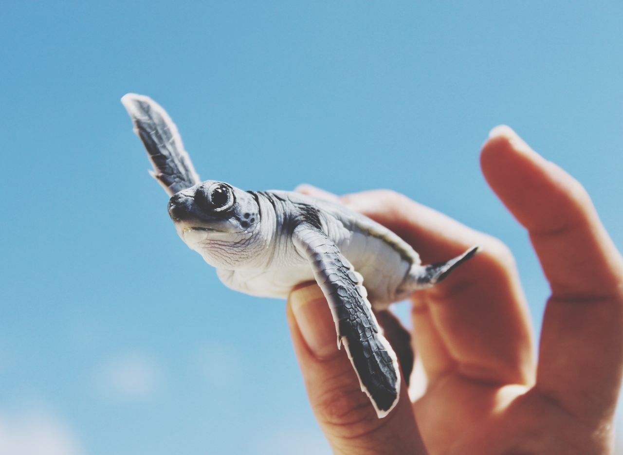 human hand, hand, one animal, one person, vertebrate, animal wildlife, human body part, reptile, animals in the wild, holding, turtle, unrecognizable person, real people, finger, body part, nature, human finger, outdoors, marine
