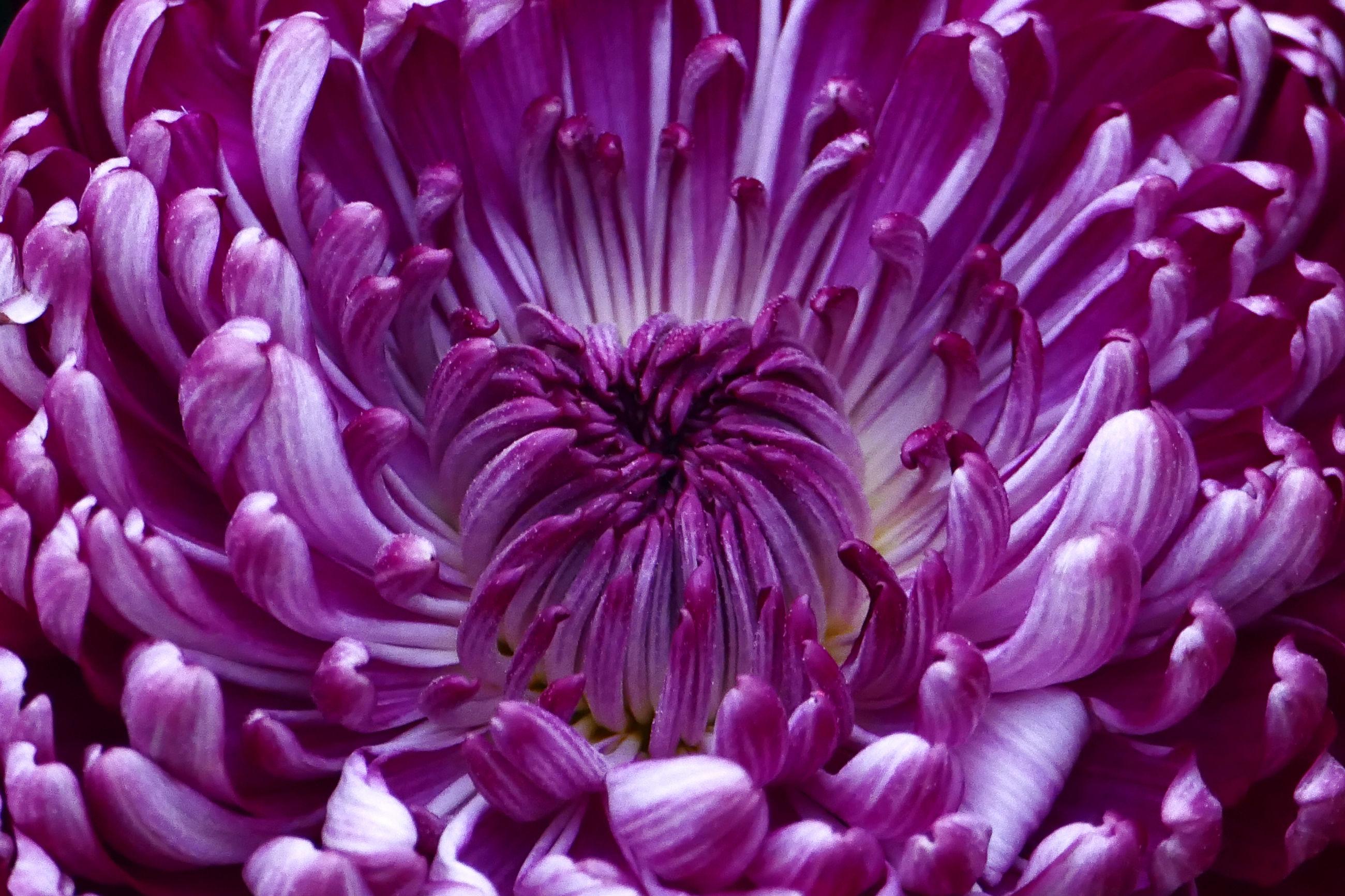Close-up of purple dahlia