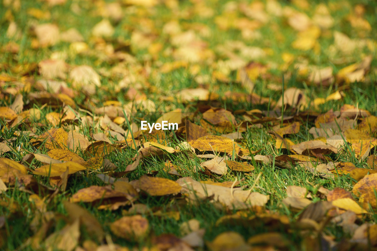 leaf, nature, change, selective focus, autumn, no people, close-up, day, beauty in nature, outdoors, growth, grass, animal themes, fragility