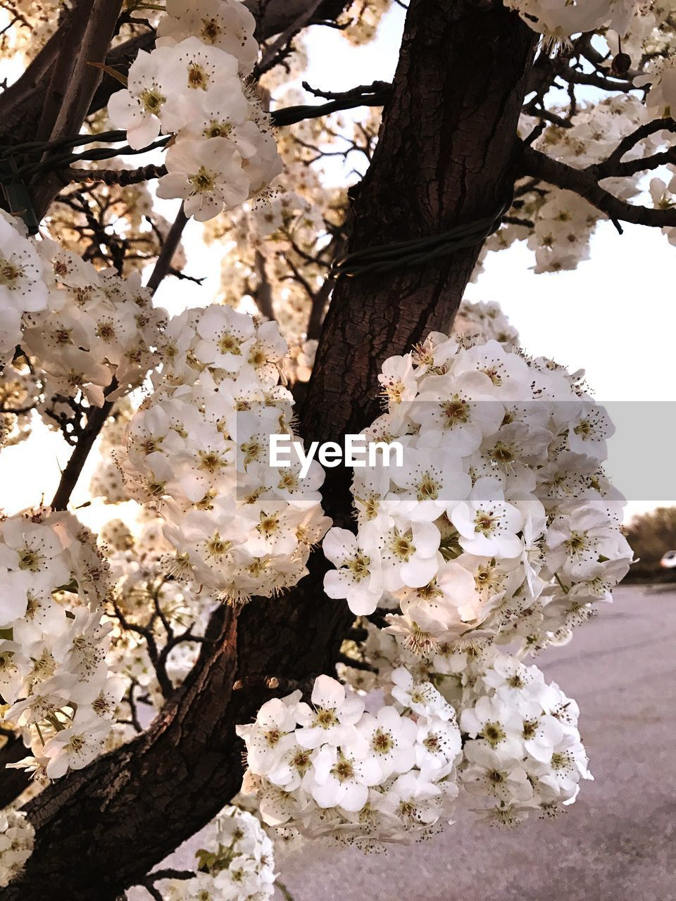 plant, flowering plant, flower, growth, beauty in nature, blossom, tree, fragility, vulnerability, freshness, white color, branch, springtime, nature, no people, close-up, cherry blossom, day, twig, botany, outdoors, cherry tree, flower head, spring, bunch of flowers