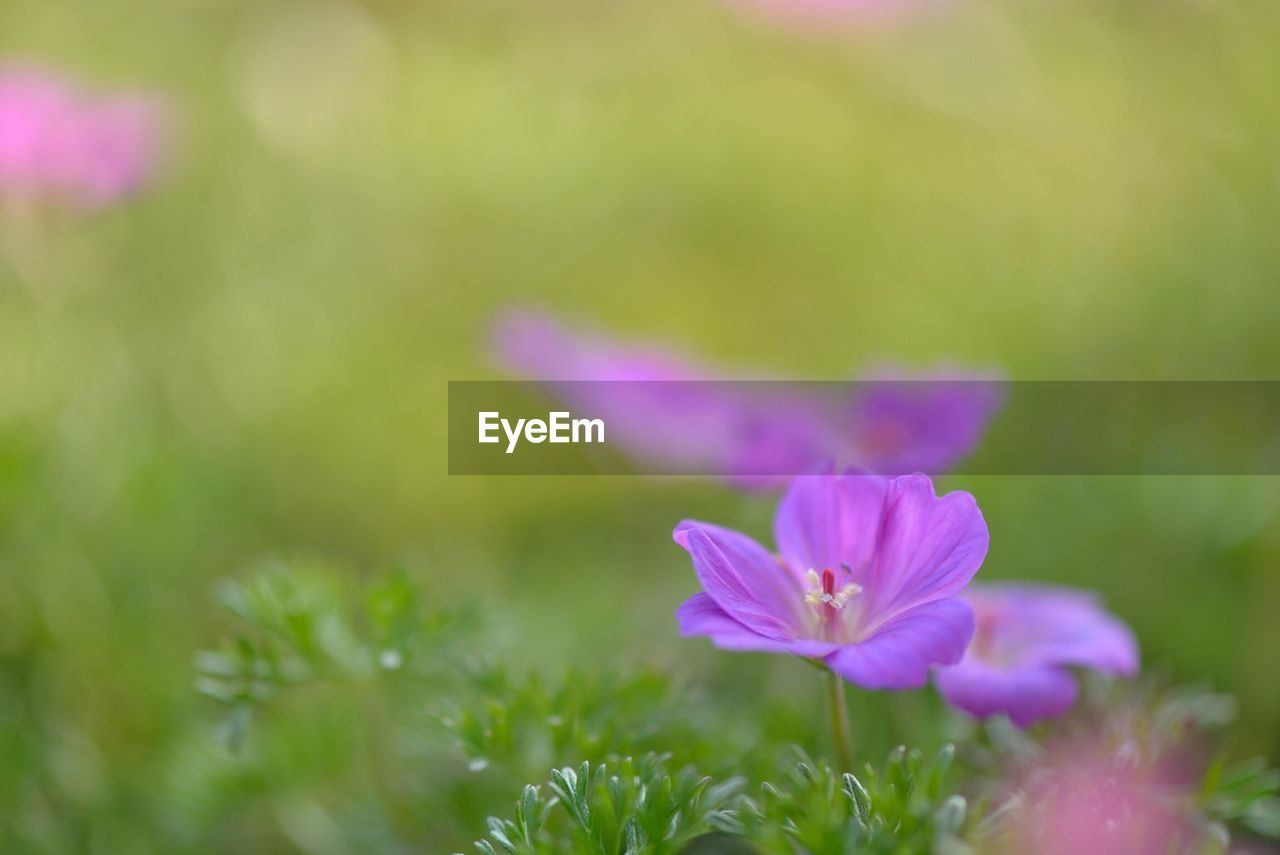 flowering plant, flower, plant, vulnerability, beauty in nature, fragility, freshness, close-up, petal, growth, pink color, inflorescence, flower head, selective focus, nature, purple, no people, day, outdoors, field