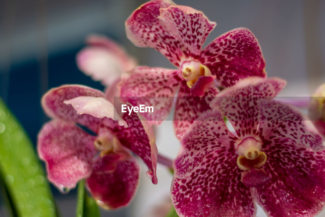 flower, flowering plant, plant, vulnerability, petal, beauty in nature, fragility, close-up, growth, freshness, flower head, inflorescence, nature, pink color, focus on foreground, no people, day, selective focus, orchid, outdoors, pollen, maroon