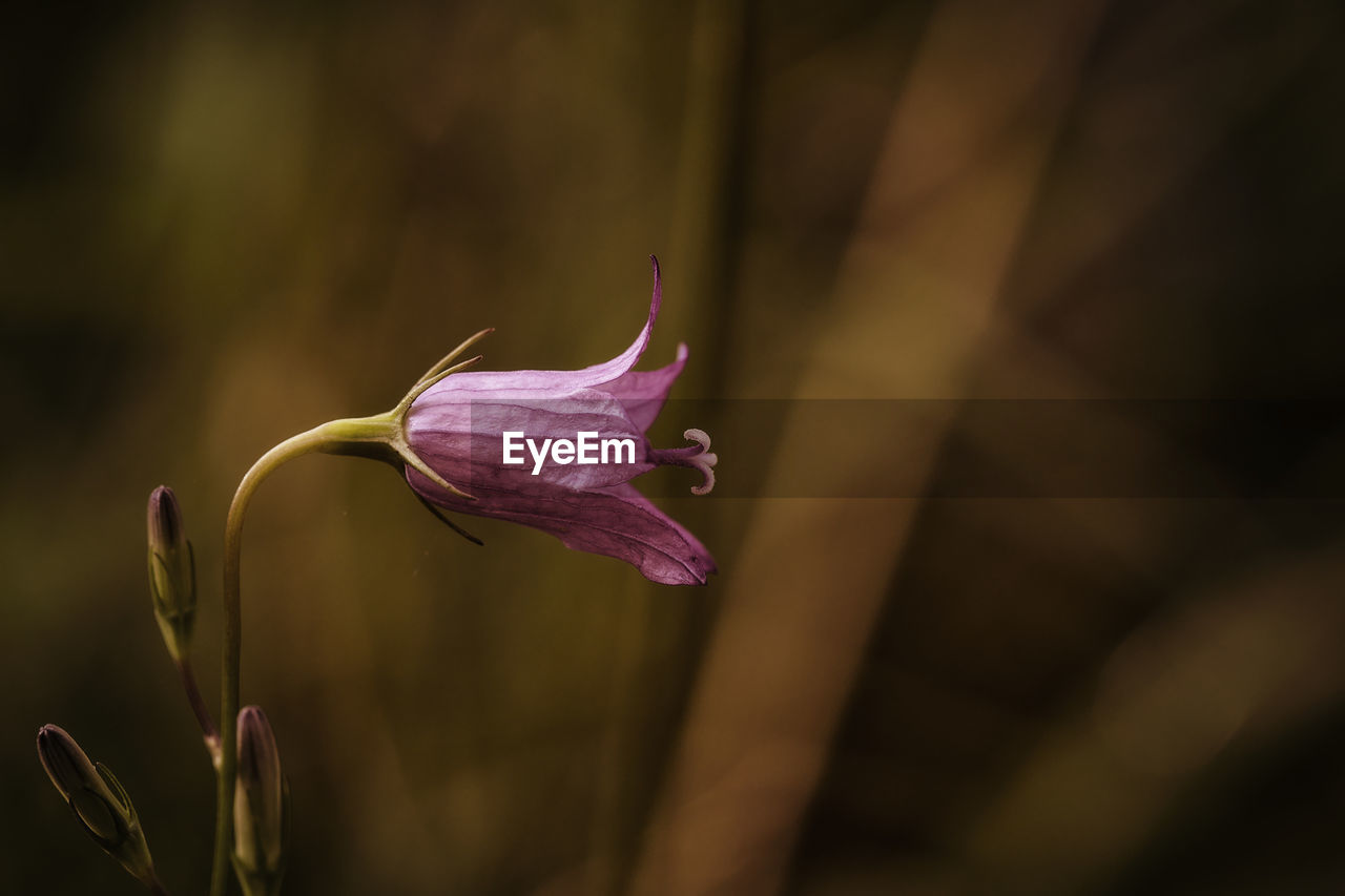 flower, flowering plant, fragility, vulnerability, plant, petal, beauty in nature, growth, close-up, freshness, flower head, inflorescence, no people, selective focus, nature, botany, day, bud, plant part, sepal, wilted plant