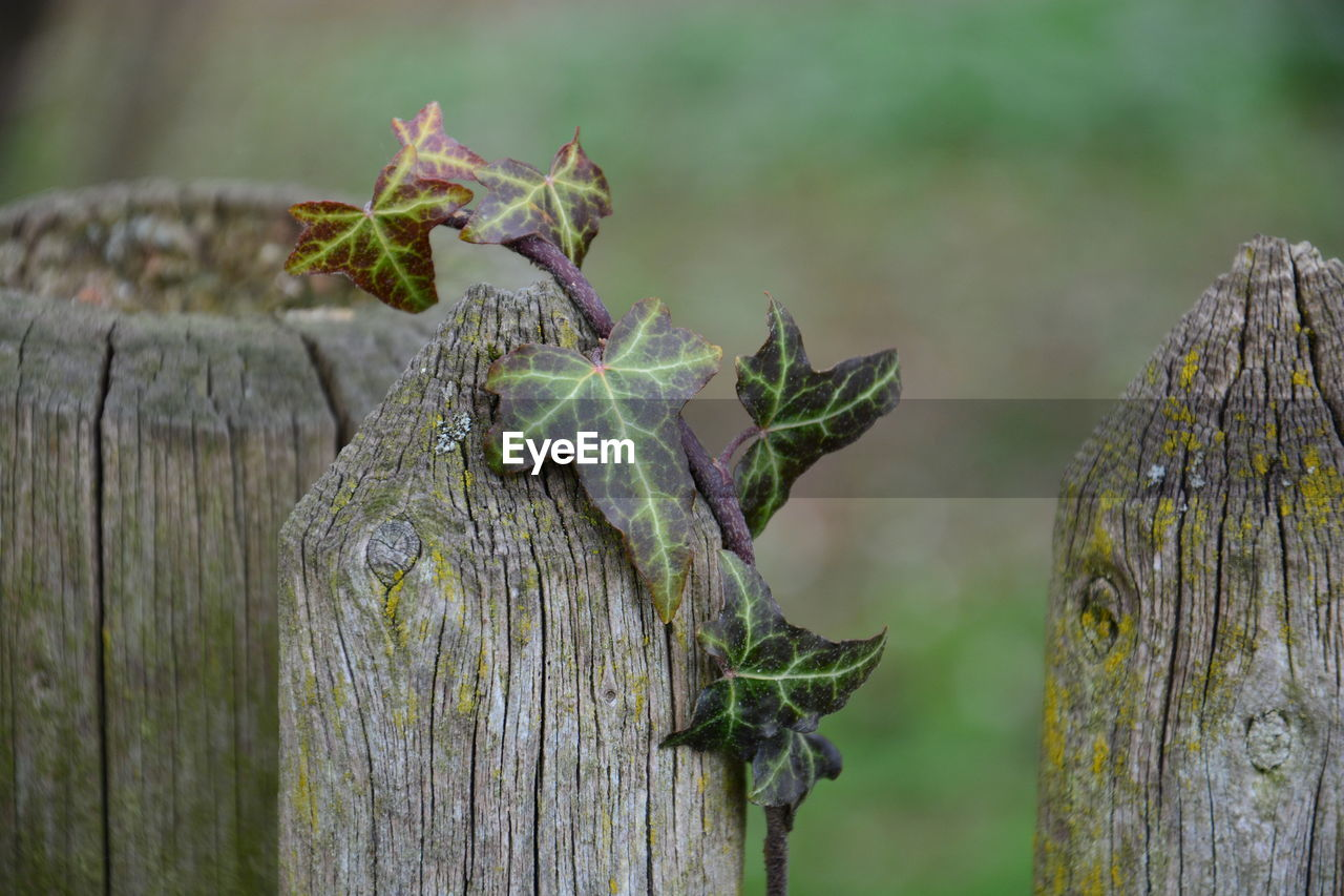 focus on foreground, plant, no people, day, close-up, growth, wood - material, nature, boundary, barrier, fence, outdoors, beauty in nature, green color, plant part, leaf, selective focus, tranquility, tree, pattern, bark, lichen, leaves