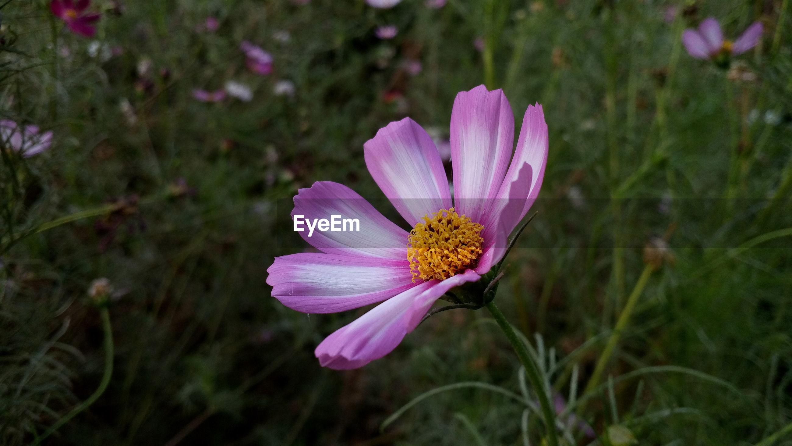 Cosmos flower blooming on field