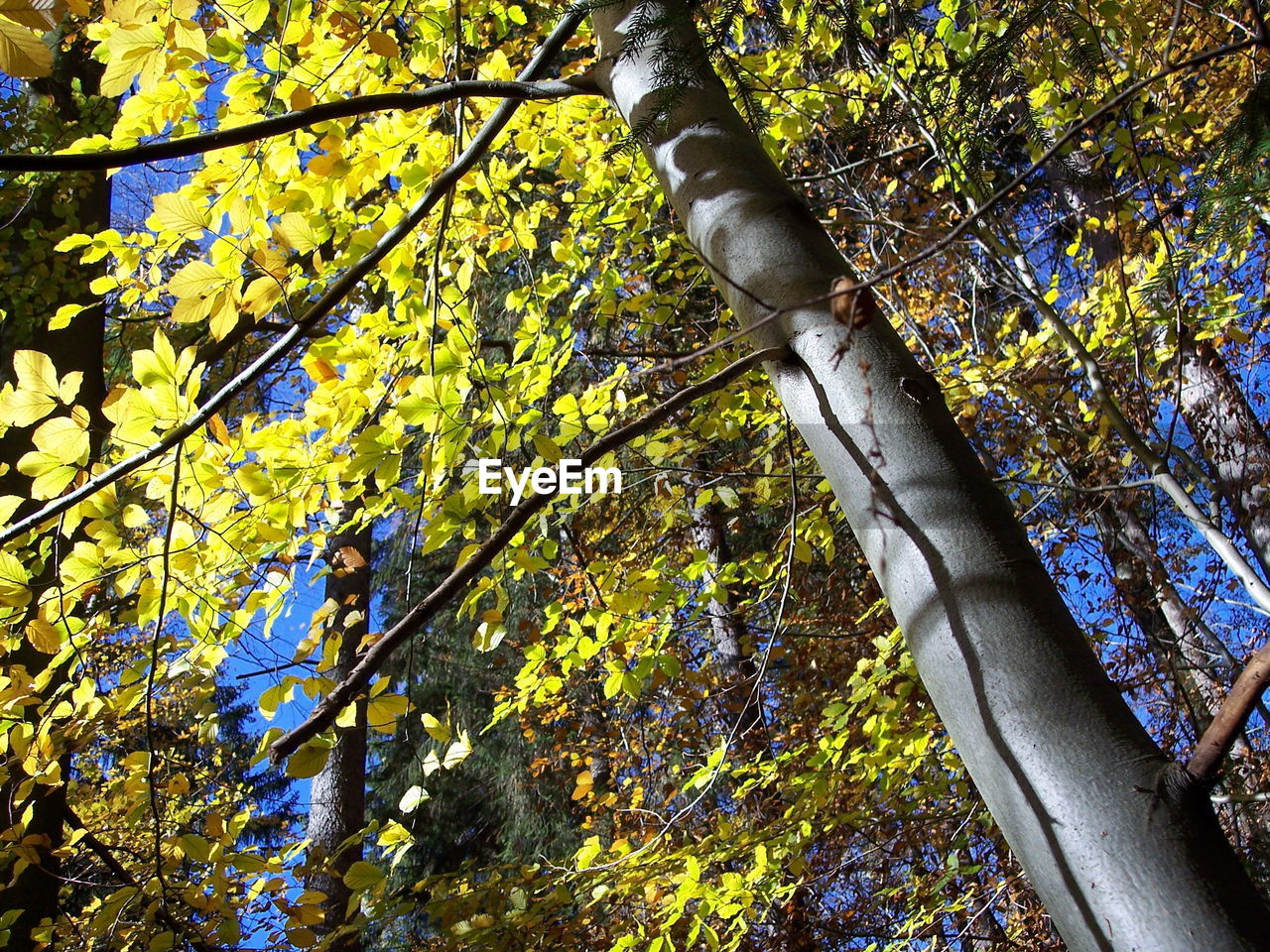 tree, plant, growth, branch, low angle view, beauty in nature, nature, day, plant part, leaf, autumn, green color, outdoors, no people, tree trunk, trunk, forest, land, flower, change