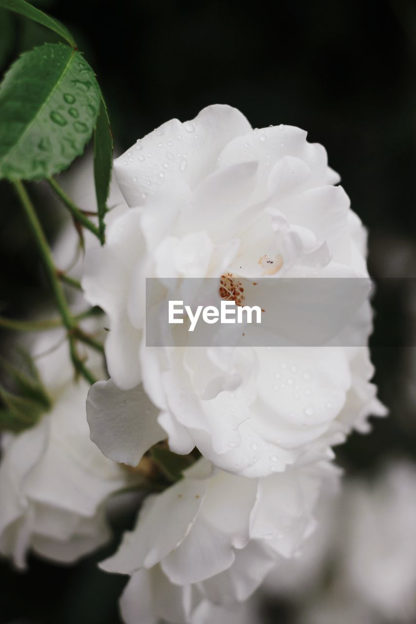 flowering plant, beauty in nature, flower, petal, white color, plant, fragility, vulnerability, close-up, growth, freshness, inflorescence, flower head, nature, no people, pollen, rose, rose - flower, water