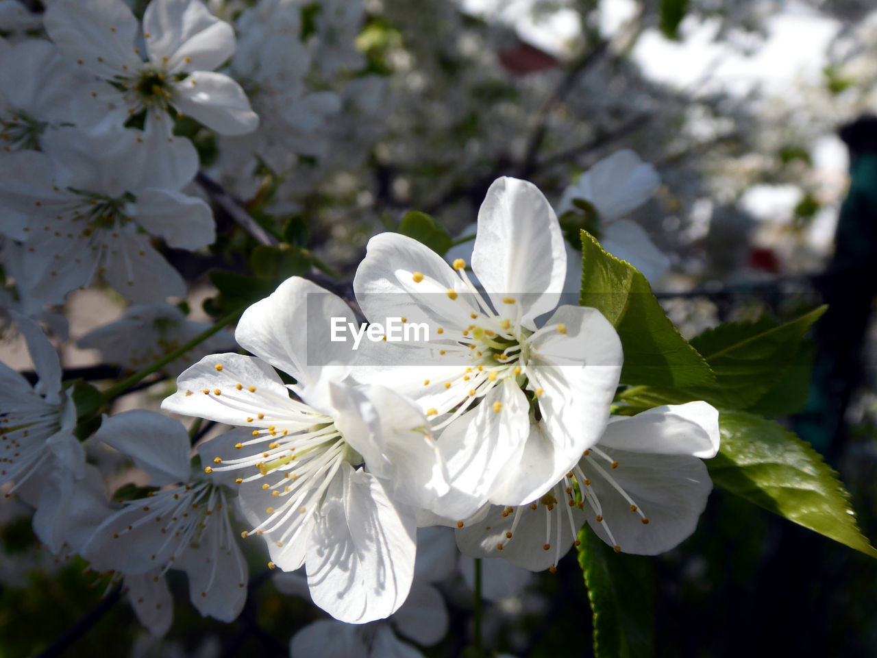 flowering plant, flower, plant, fragility, freshness, vulnerability, petal, beauty in nature, growth, white color, flower head, inflorescence, close-up, pollen, nature, focus on foreground, tree, blossom, day, springtime, no people, cherry blossom, spring