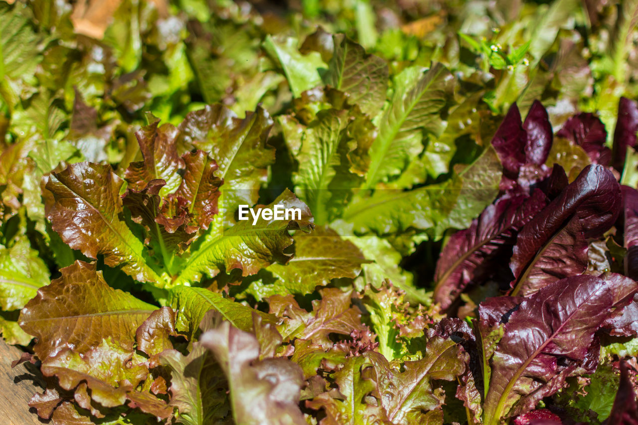 plant, close-up, freshness, leaf, plant part, selective focus, food and drink, no people, food, green color, healthy eating, wellbeing, full frame, growth, nature, lettuce, day, beauty in nature, focus on foreground, vegetable
