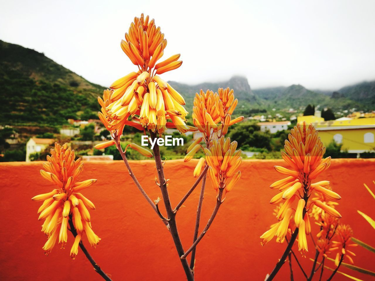 flowering plant, flower, plant, fragility, beauty in nature, vulnerability, growth, freshness, close-up, petal, flower head, focus on foreground, inflorescence, orange color, nature, no people, sky, day, pollen, yellow, outdoors, orange