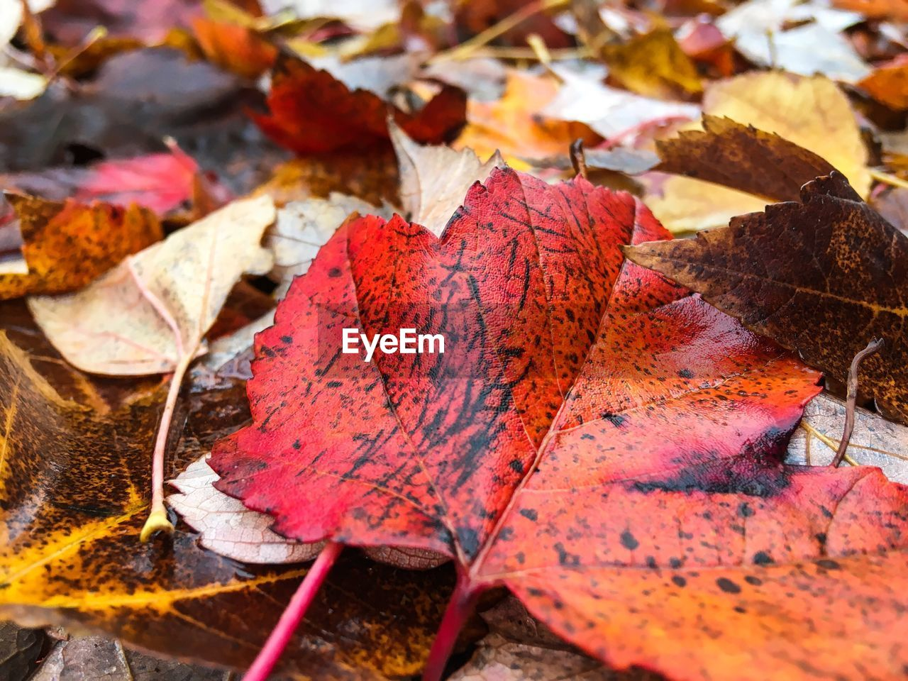 autumn, leaf, plant part, change, dry, leaves, close-up, falling, nature, no people, beauty in nature, day, maple leaf, red, orange color, plant, outdoors, vulnerability, leaf vein, field, natural condition, maple tree, fall, autumn collection