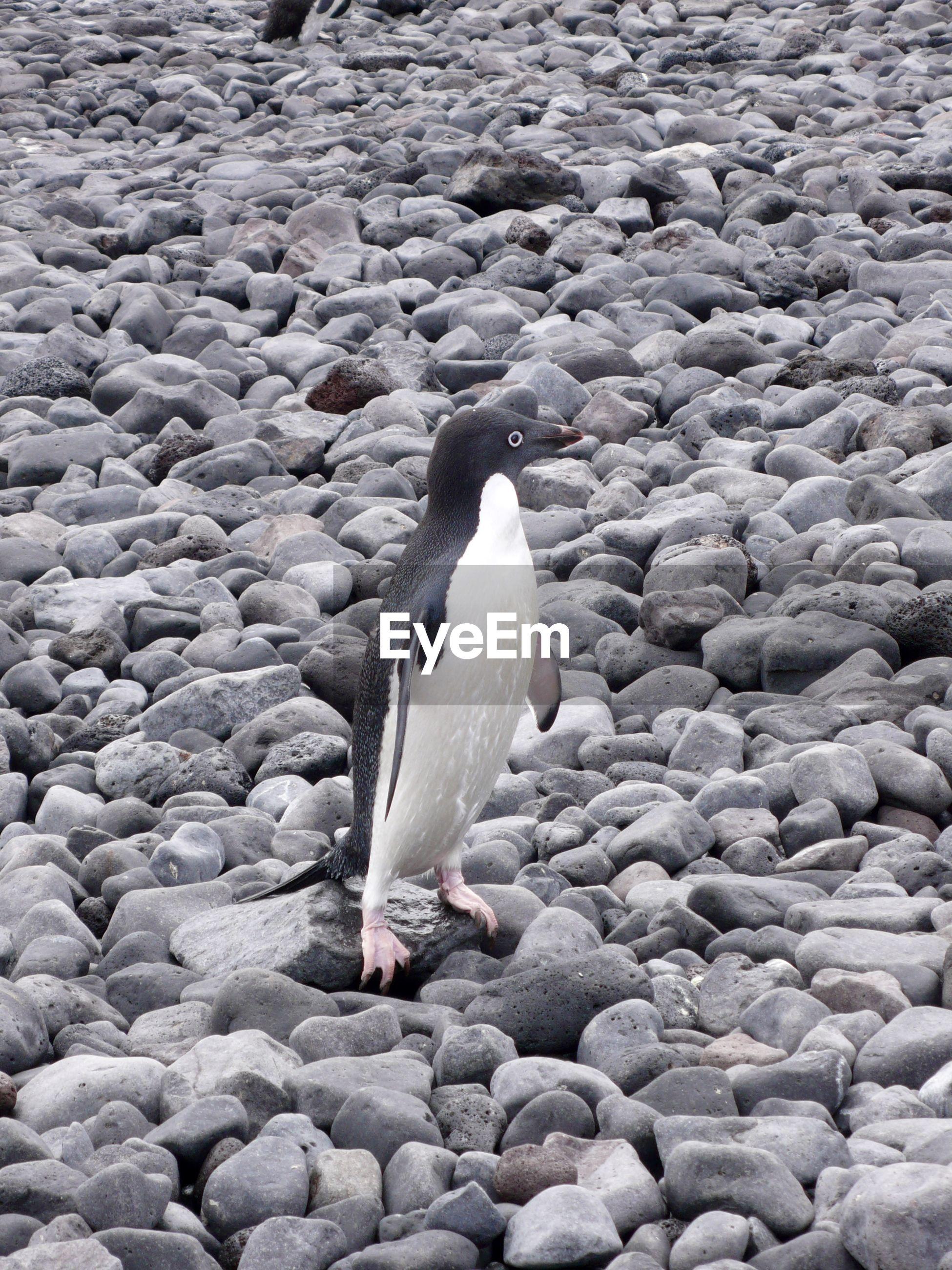 Penguin standing on pebbles
