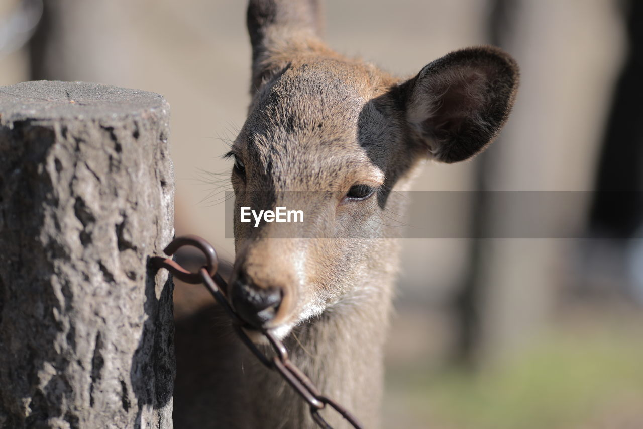 Close-up of doe chewing metallic chain by wooden post