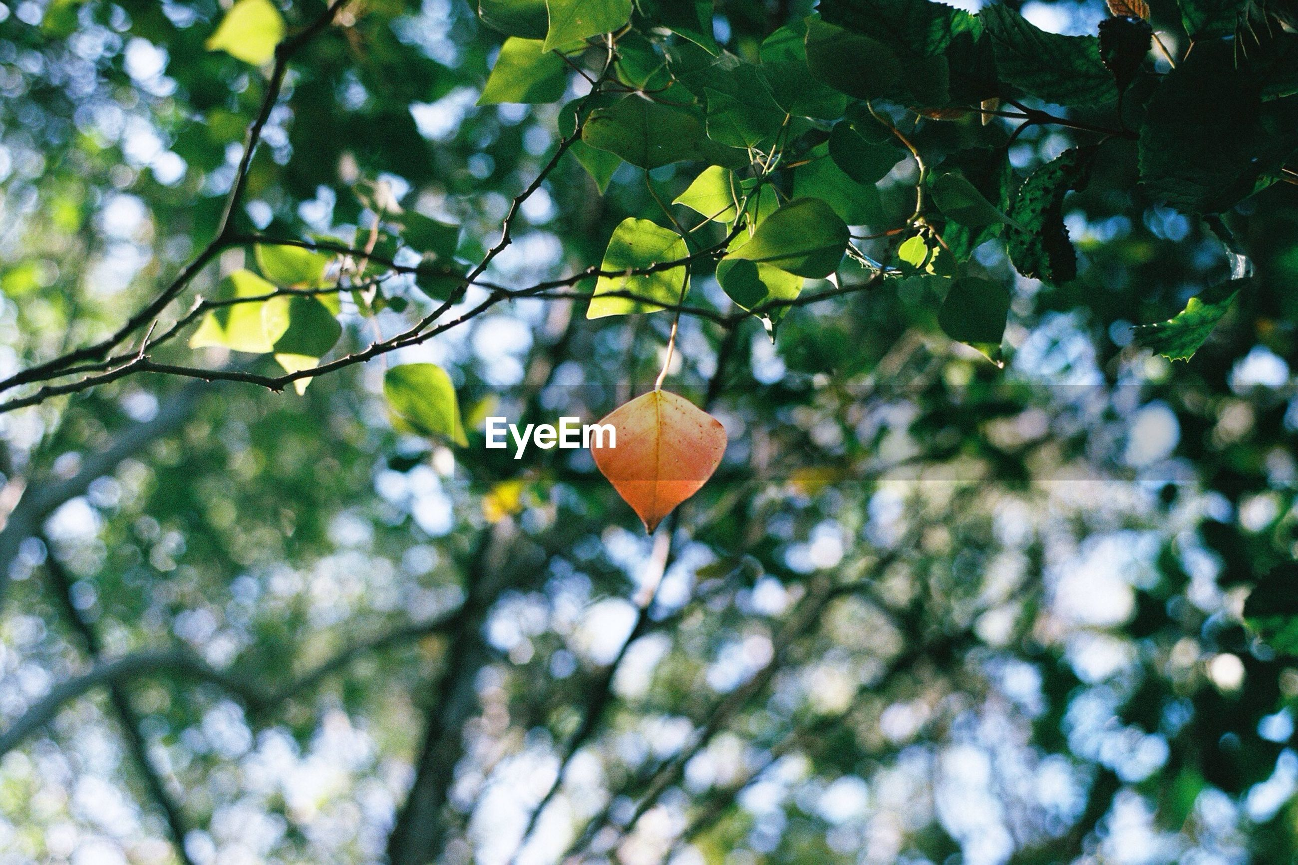 Orange leaf hanging on tree