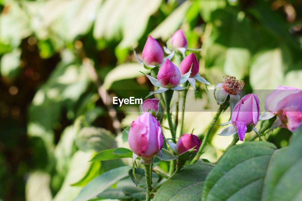 plant, flower, flowering plant, beauty in nature, growth, freshness, vulnerability, close-up, fragility, pink color, petal, nature, plant part, bud, no people, flower head, leaf, inflorescence, day, selective focus, purple