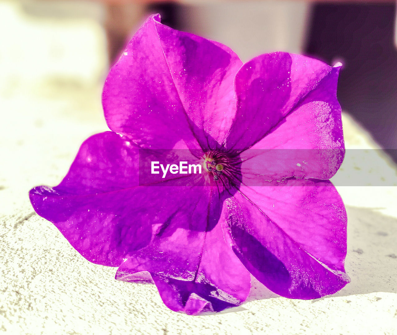 flower, petal, fragility, beauty in nature, nature, flower head, outdoors, day, no people, purple, close-up, freshness