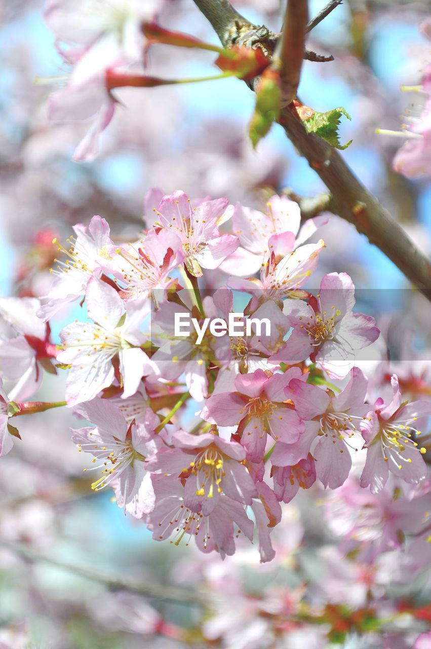 flower, fragility, growth, blossom, tree, beauty in nature, nature, springtime, pink color, day, branch, orchard, no people, freshness, petal, apple blossom, close-up, outdoors, stamen, blooming, flower head