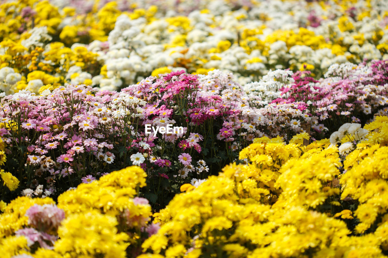 flower, flowering plant, plant, beauty in nature, yellow, growth, freshness, vulnerability, selective focus, fragility, no people, close-up, nature, day, backgrounds, field, full frame, outdoors, abundance, land, springtime, flower head, flowerbed