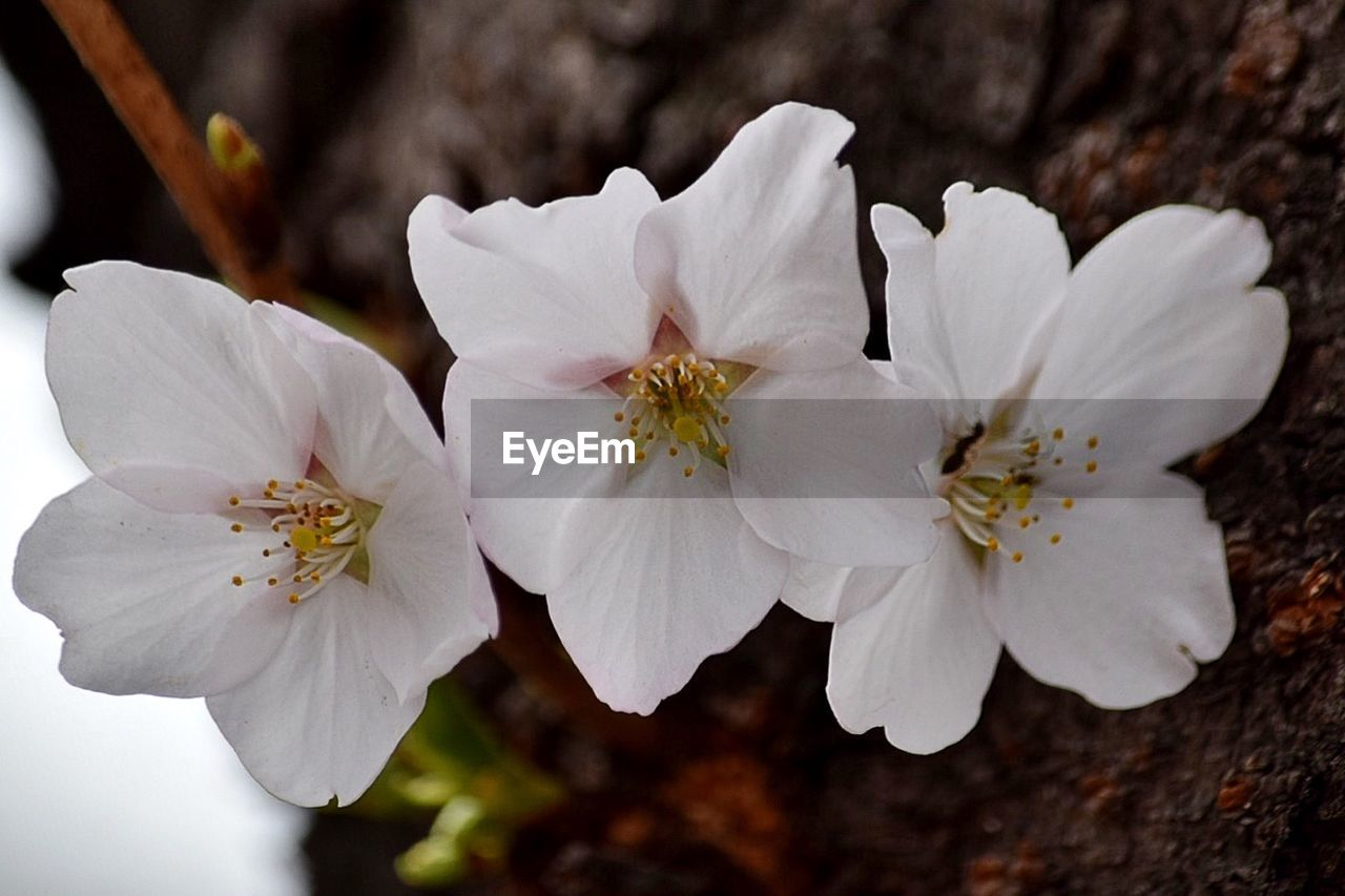 white color, flower, petal, fragility, flower head, beauty in nature, nature, close-up, freshness, growth, pollen, focus on foreground, no people, stamen, blossom, day, outdoors, springtime, blooming, tree