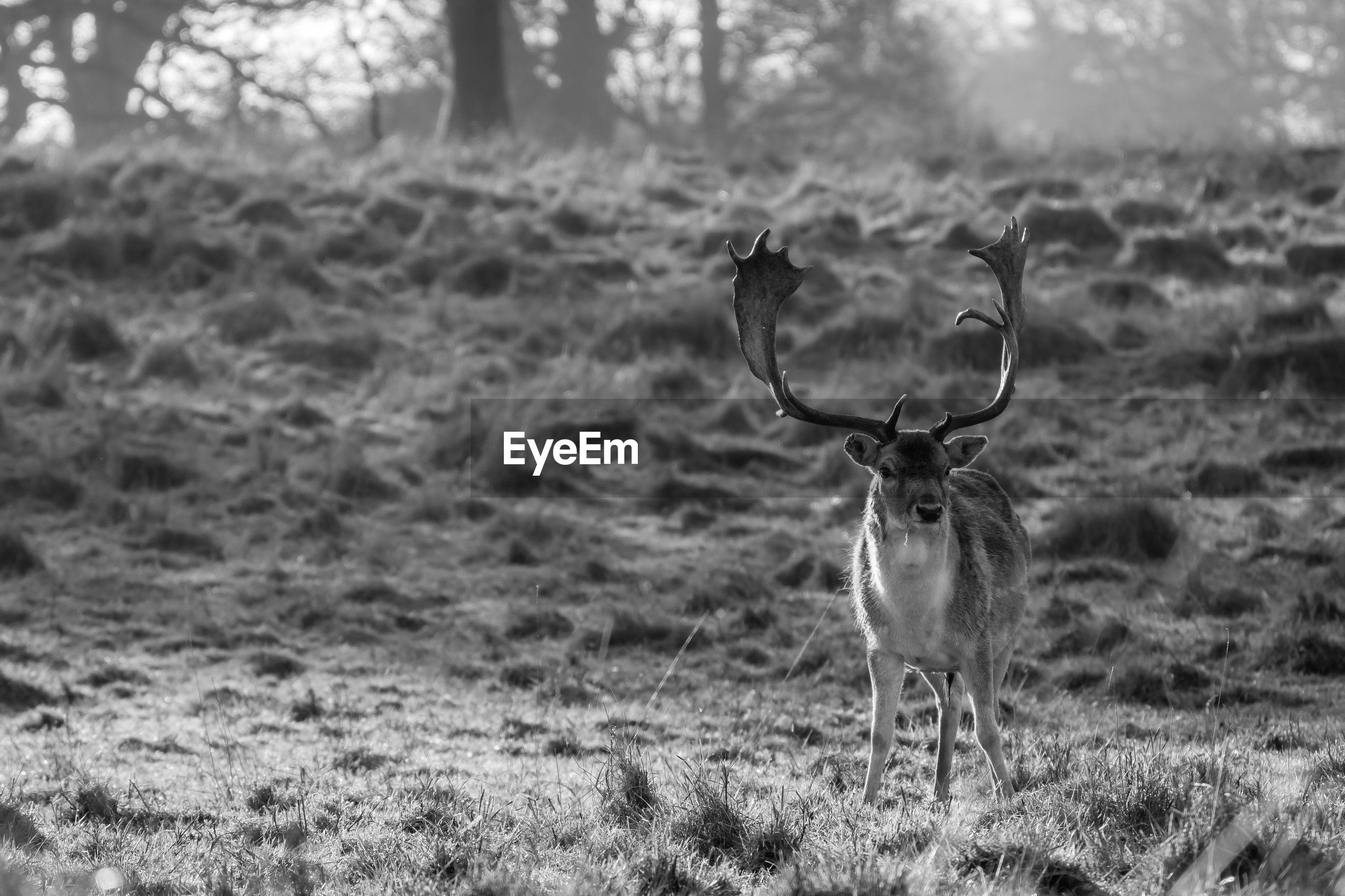 Full length of fallow deer on field at charlecote park