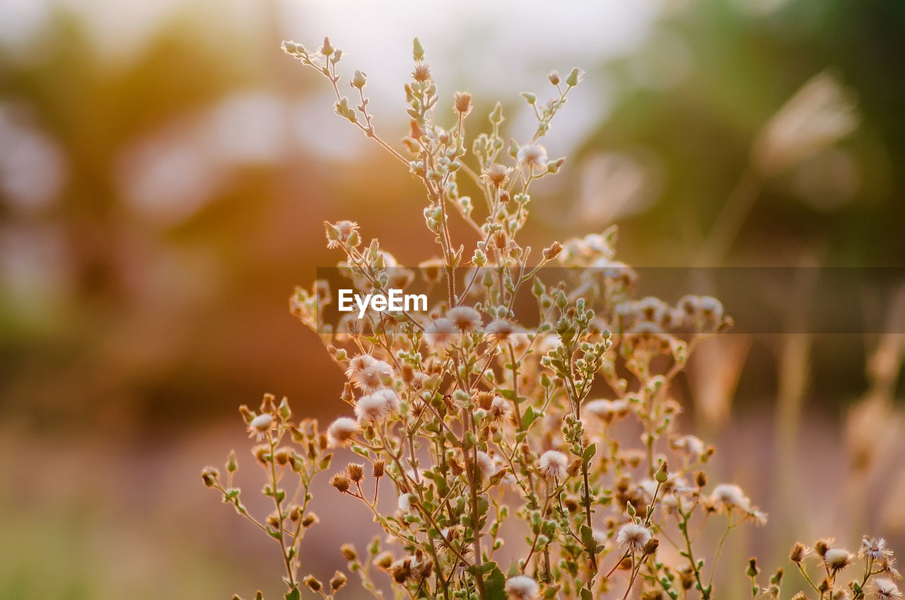 nature, flower, beauty in nature, fragility, growth, freshness, plant, day, no people, selective focus, outdoors, close-up, focus on foreground, tranquility, flower head