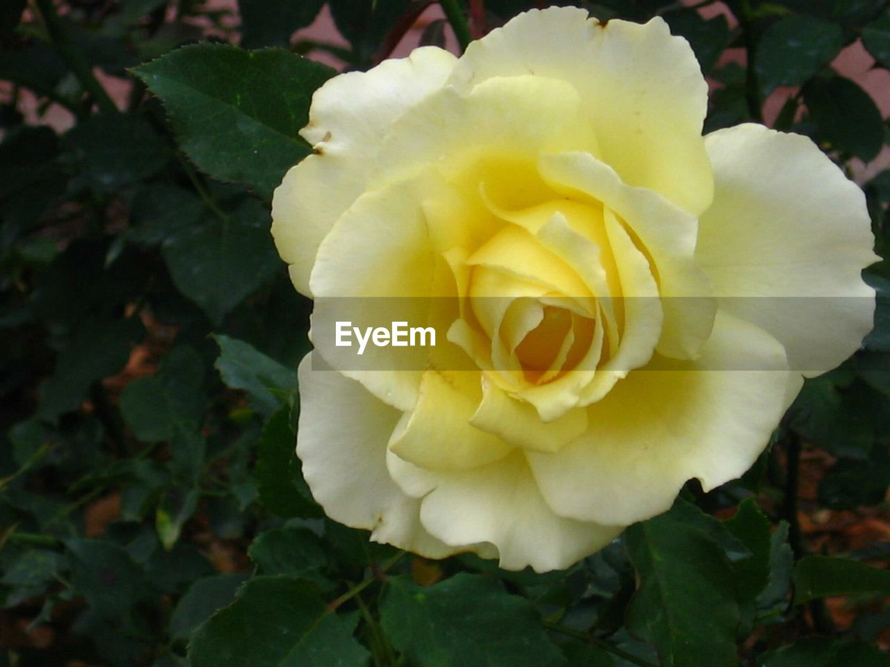 flower, petal, fragility, flower head, nature, beauty in nature, plant, growth, yellow, close-up, freshness, outdoors, no people, rose - flower, leaf, day, blooming