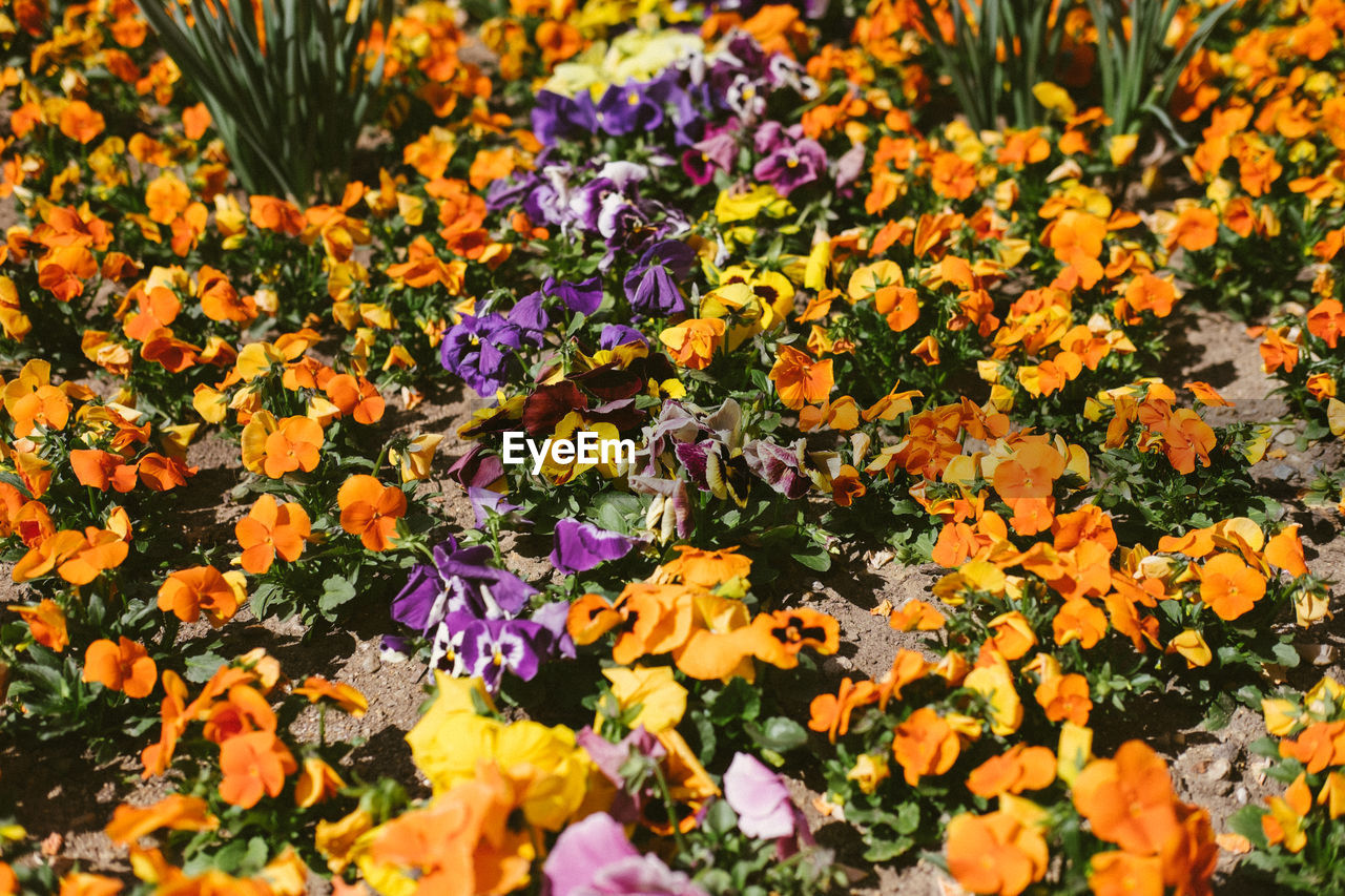 flowering plant, flower, plant, beauty in nature, vulnerability, fragility, freshness, growth, no people, petal, nature, selective focus, flower head, multi colored, yellow, inflorescence, day, high angle view, close-up, full frame, outdoors, purple, flowerbed
