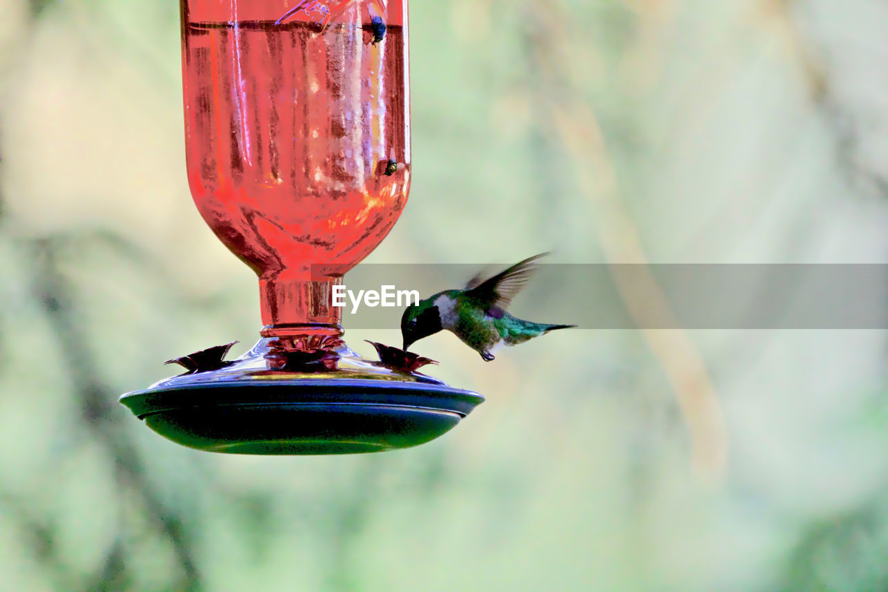 CLOSE-UP OF BIRD FLYING HANGING FROM A FEEDER