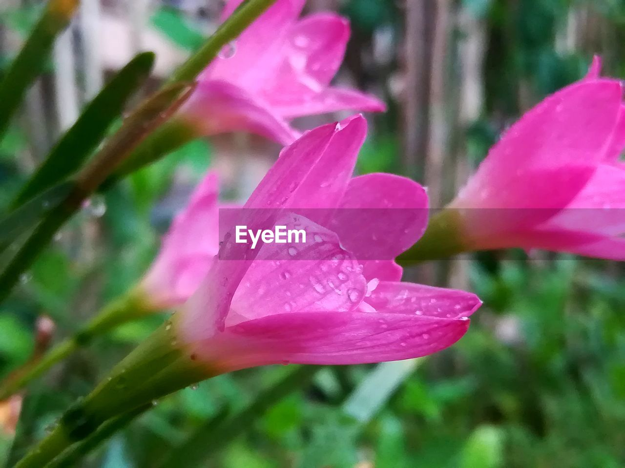 plant, beauty in nature, pink color, flower, flowering plant, growth, wet, close-up, drop, petal, freshness, water, fragility, vulnerability, inflorescence, nature, flower head, no people, rain, outdoors, springtime, dew, raindrop, purity, softness, purple, focus