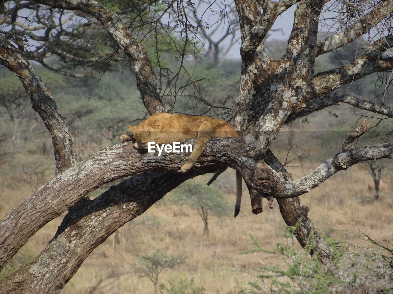 Lion Resting On Tree Trunk
