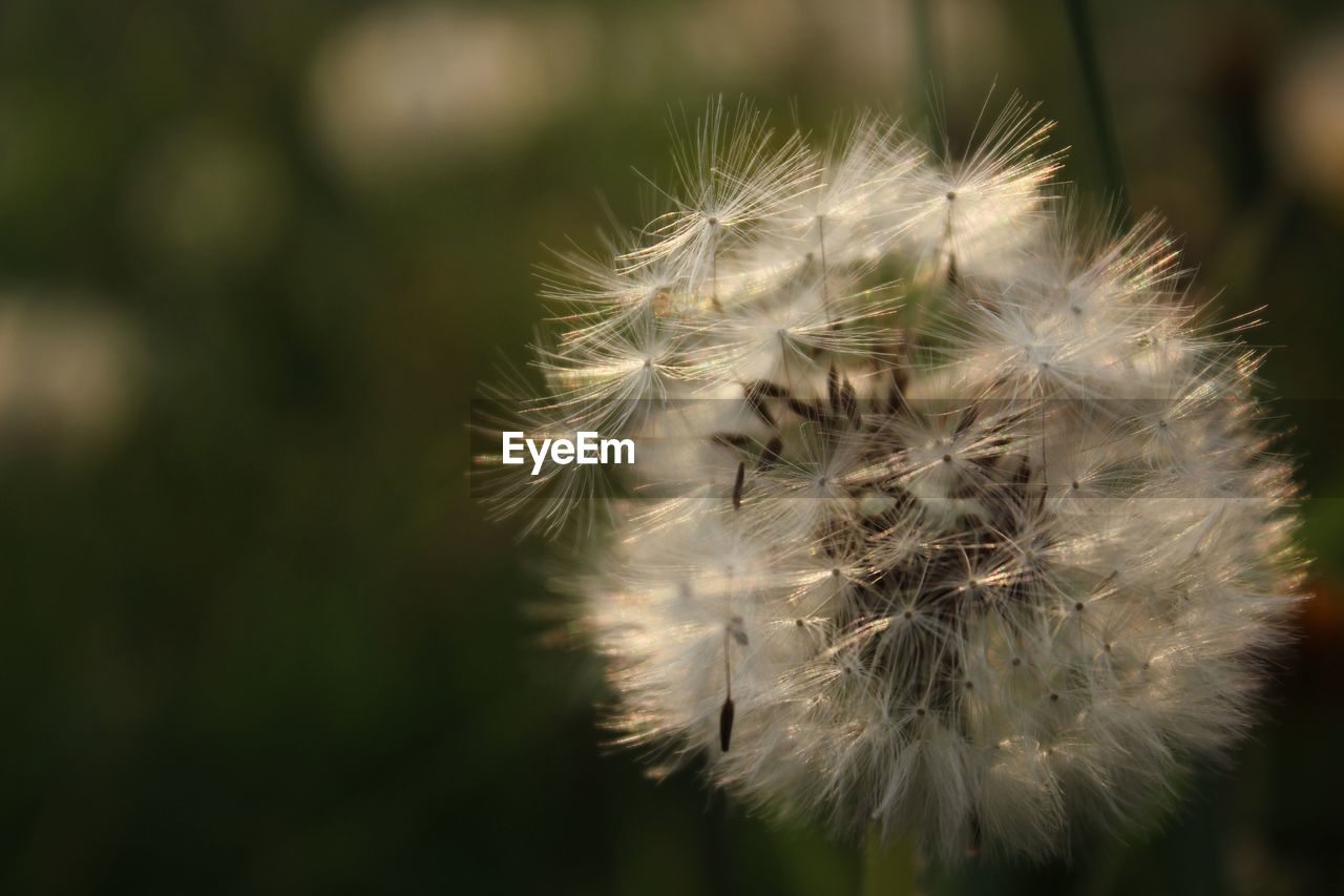 fragility, flower, vulnerability, dandelion, flowering plant, close-up, focus on foreground, beauty in nature, plant, growth, freshness, day, nature, no people, inflorescence, flower head, selective focus, white color, softness, dandelion seed, outdoors