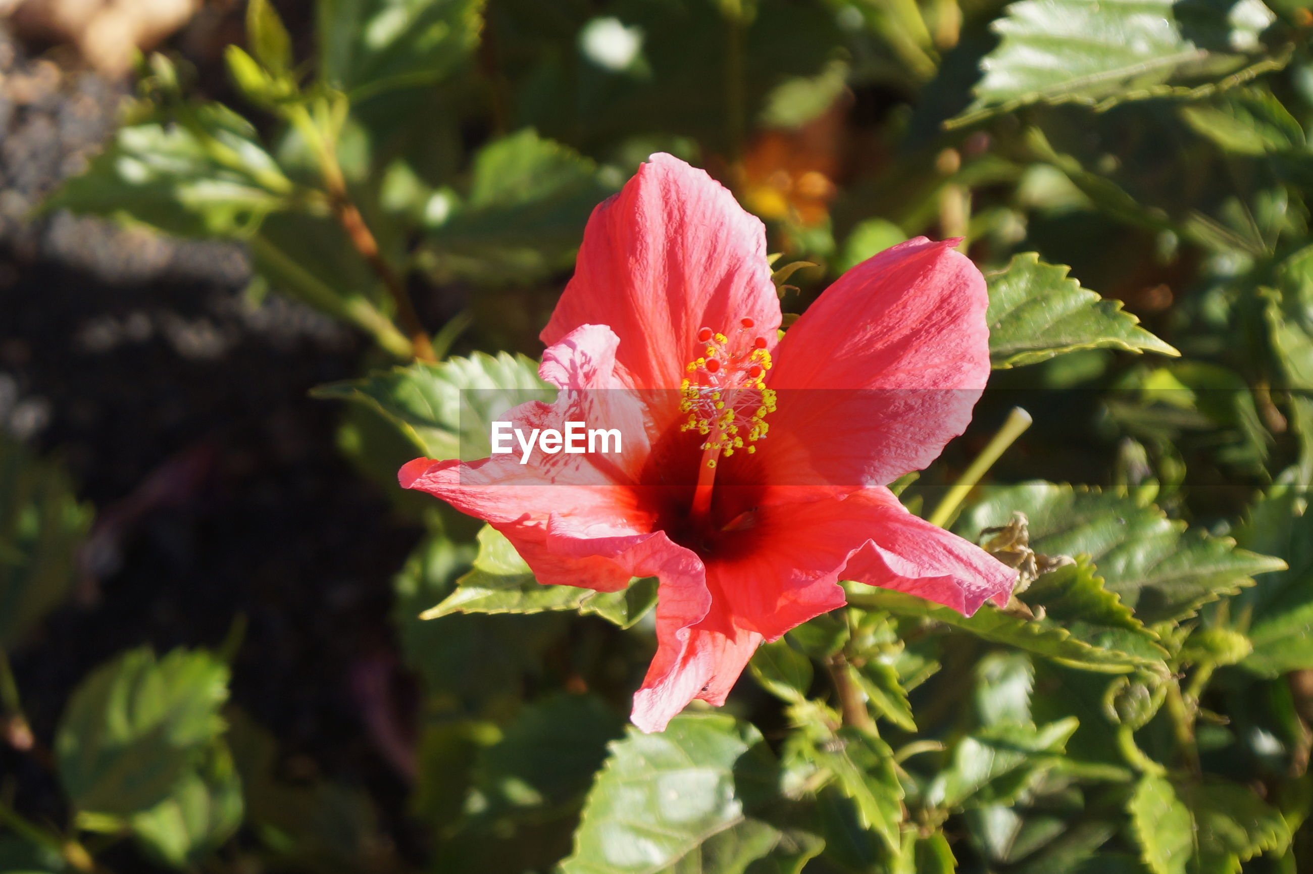 flower, petal, nature, fragility, beauty in nature, growth, flower head, freshness, red, pink color, day, plant, no people, outdoors, blooming, hibiscus, soft focus, close-up