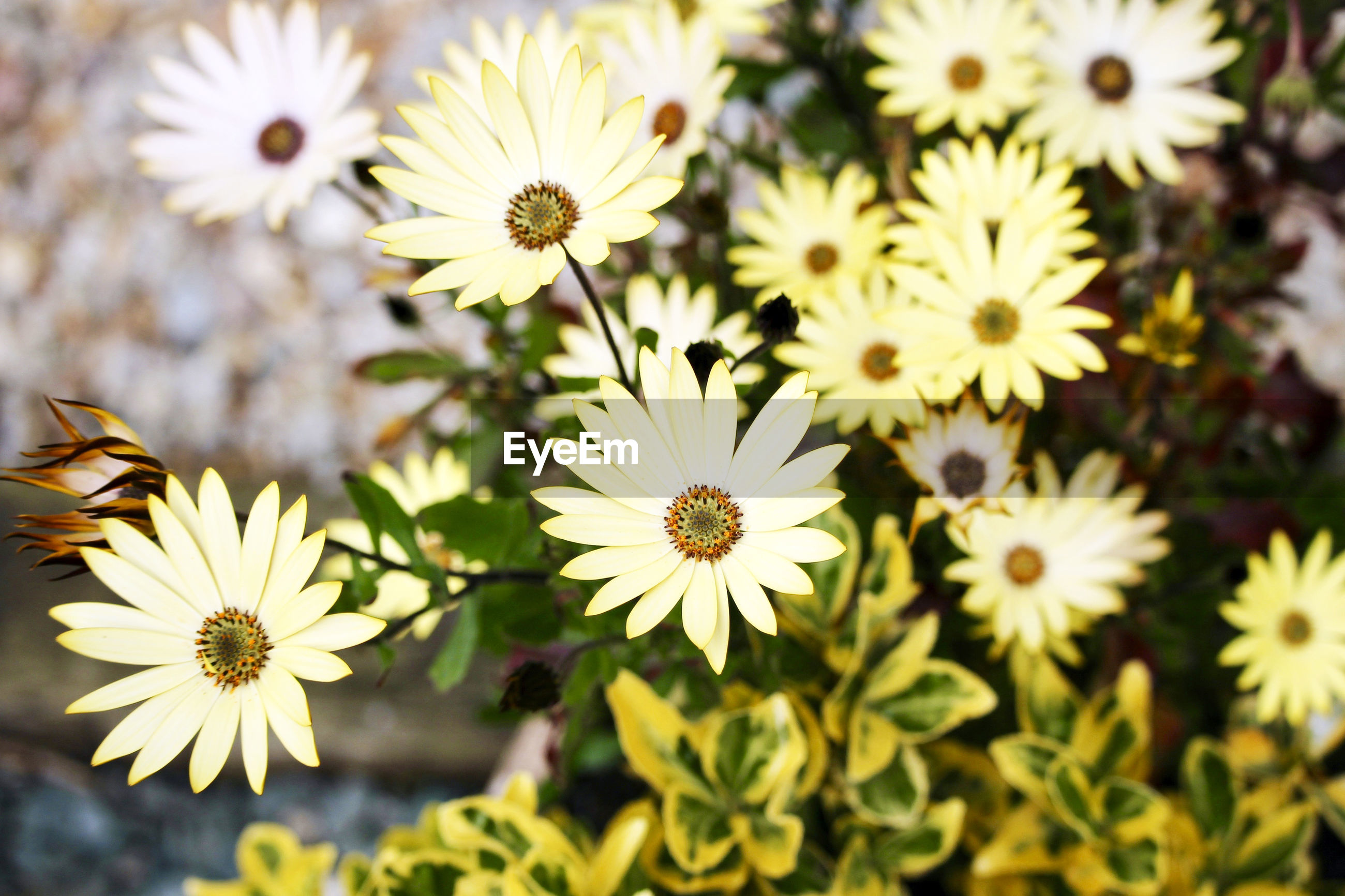 HIGH ANGLE VIEW OF DAISIES